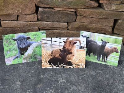 Greetings cards: \'Black\' Lambs