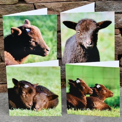 Greetings cards: Manx Loaghtan Lambs